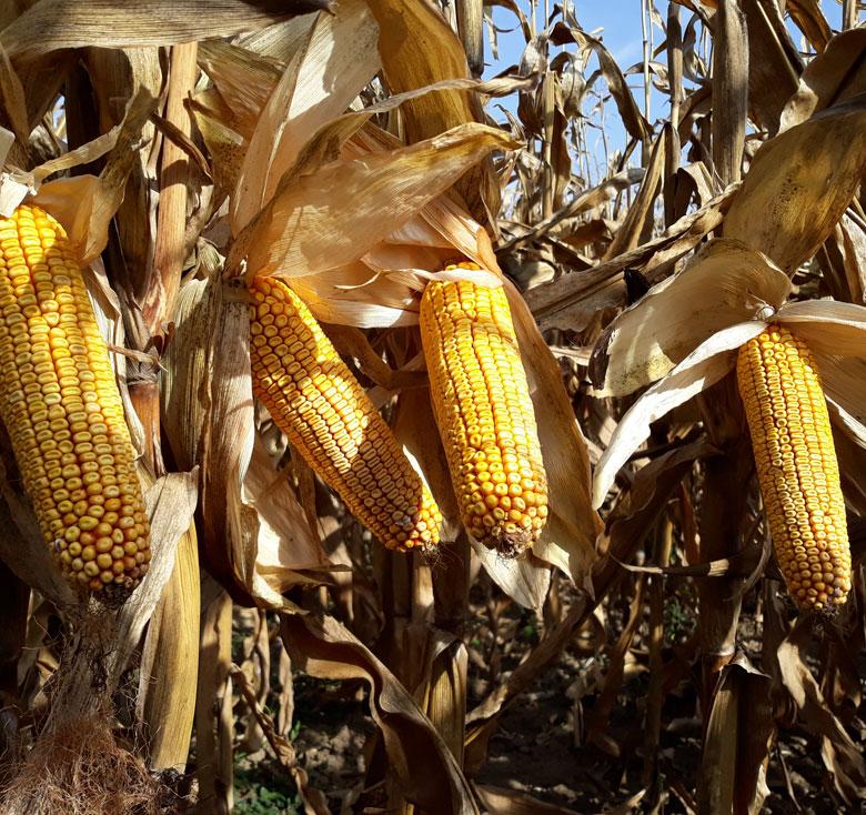 majs klar til høst